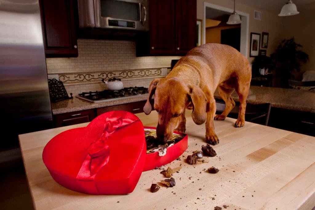 ¿Pueden comer chocolate los perros?