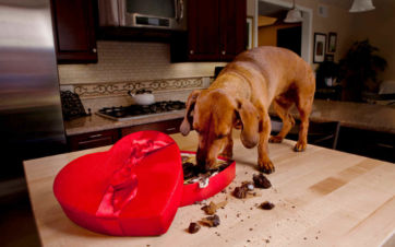 chocolate, perros, alimentos toxicos para perros