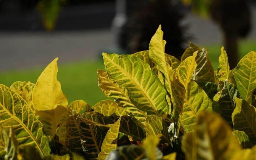 croton plantas toxicas para perros