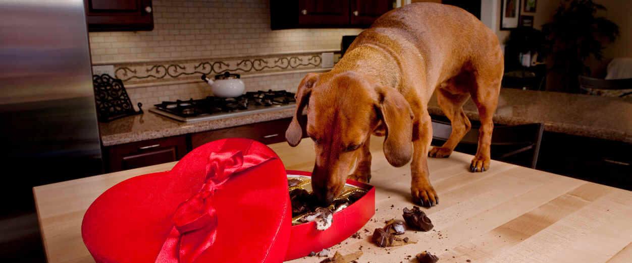chocolate, perros