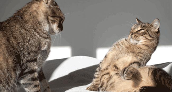 Cómo presentar a dos gatos.
