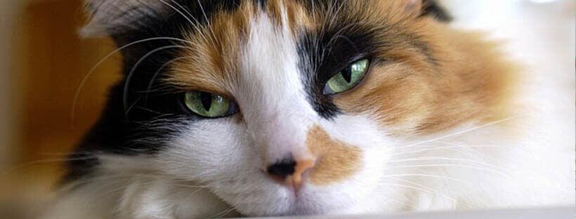 gatos-tricolor