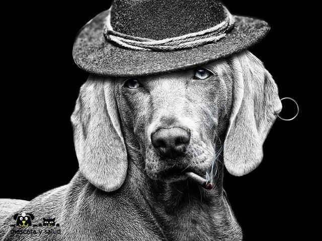 el tabaco y el cannabis en los perros les perjudica considerablemente