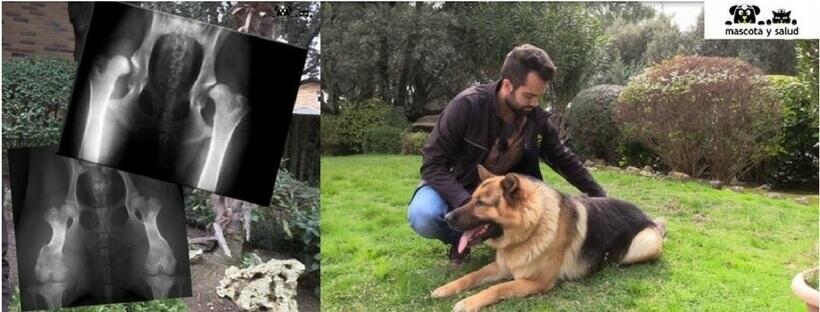 perro con displasia de cadera atendido por mascota y salud