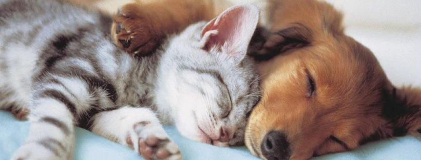 Los gatos son verdaderos maestros en conciliar el sueño en cualquier momento y en cualquiera circunstancia.