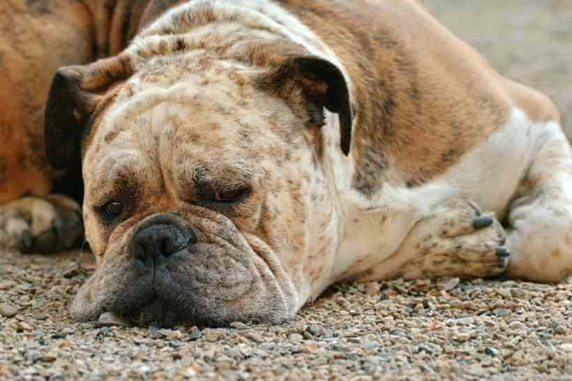 Perro descansa en el suelo estirado