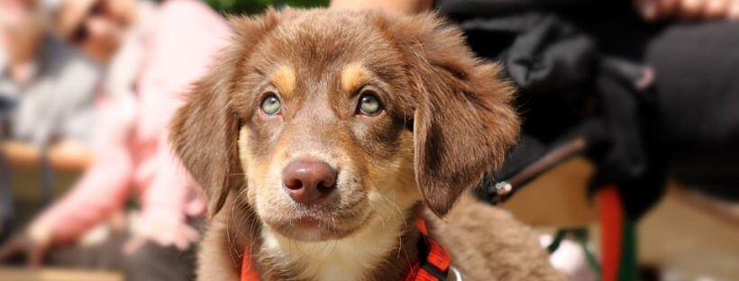 Perro pequeño con ojos claros que no sufre dermatitis