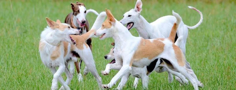Varios perros jugando en un jardín con menos agresividad al esterilizar a tu perro