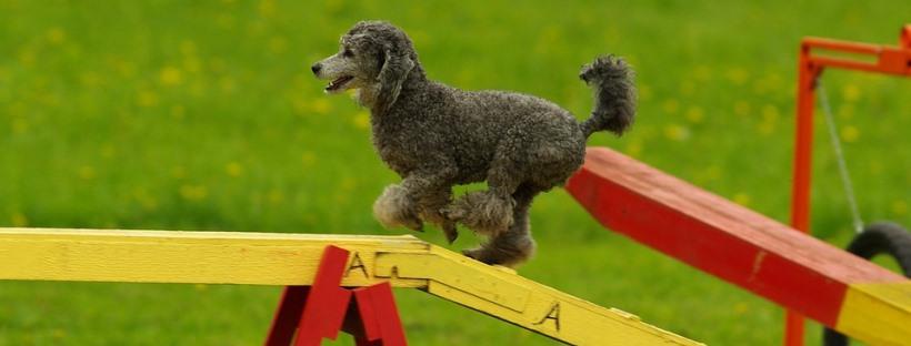 Perro pequeño practicando agility.