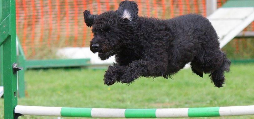 Perro saltando una valla en una prueba de agility.