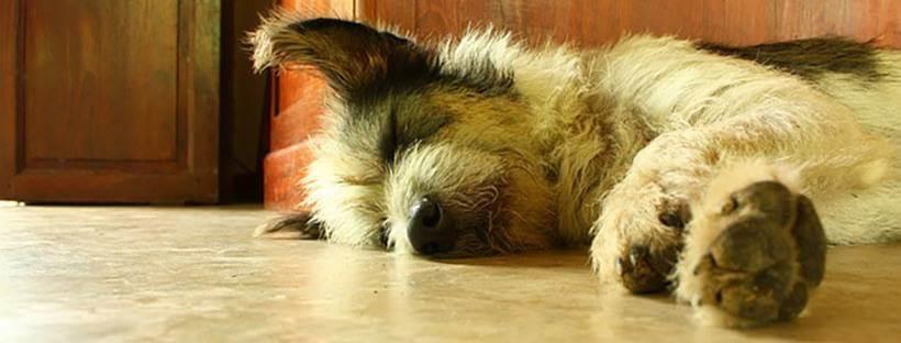 Un perro durmiendo la siesta.