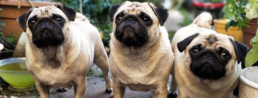 Perros con obesidad.