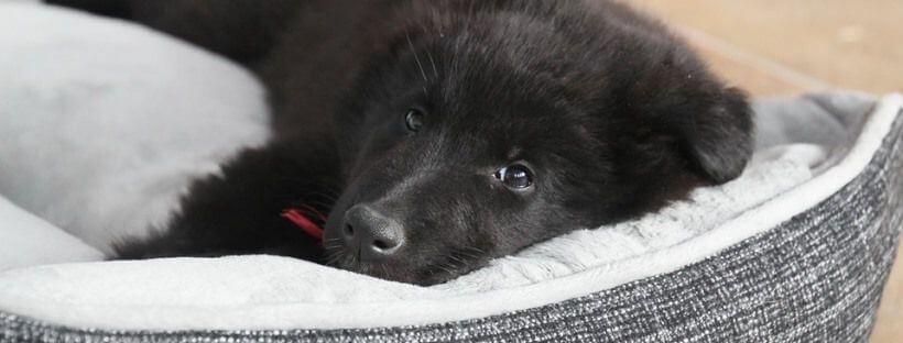 Cachorro de pastor alemán.