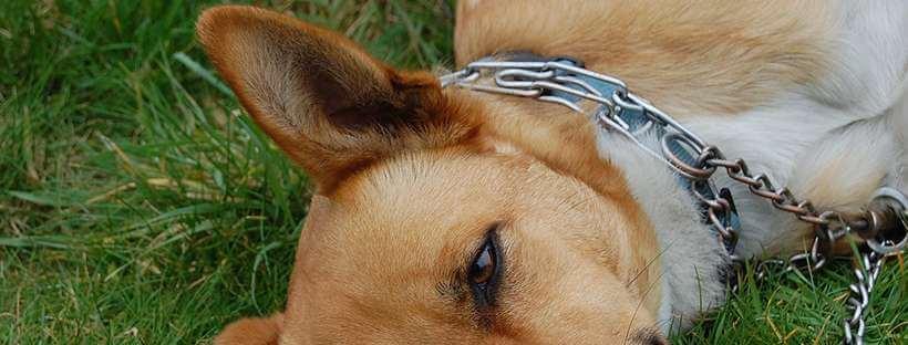 Collar de perros semiahorque.