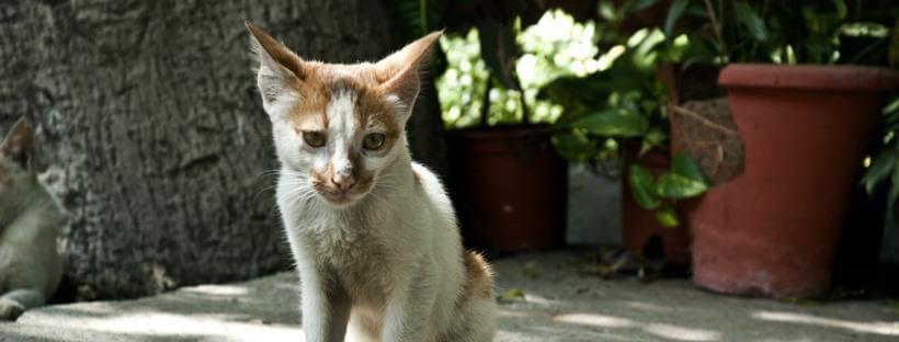 Gato pequeño de color blanco y marrón.
