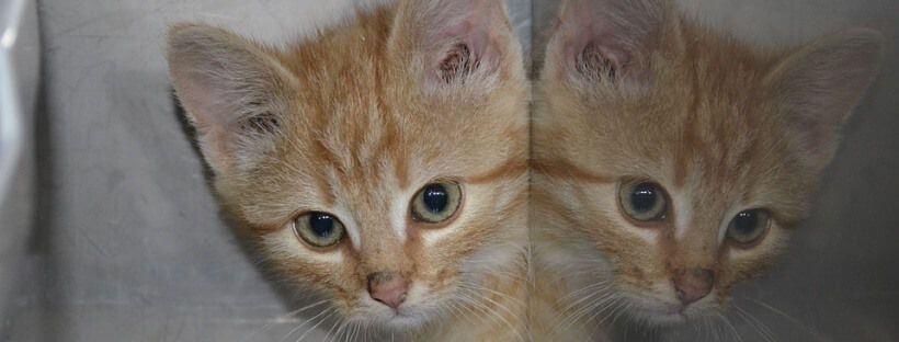 Gato marrón pequeño reflejado en una placa de metal.