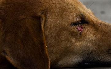 Perro tumbado con una herida en el ojo.