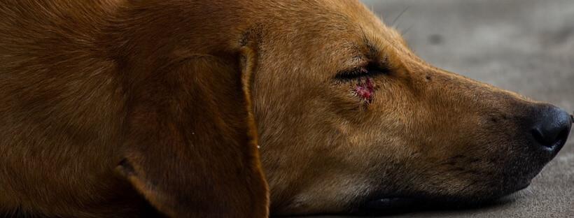 Perro tumbado con una herida en el ojo por la miasis en perros