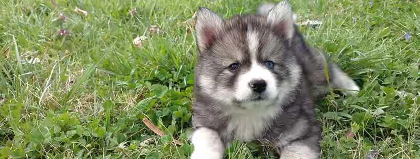 Pomsky cachorro en un césped.