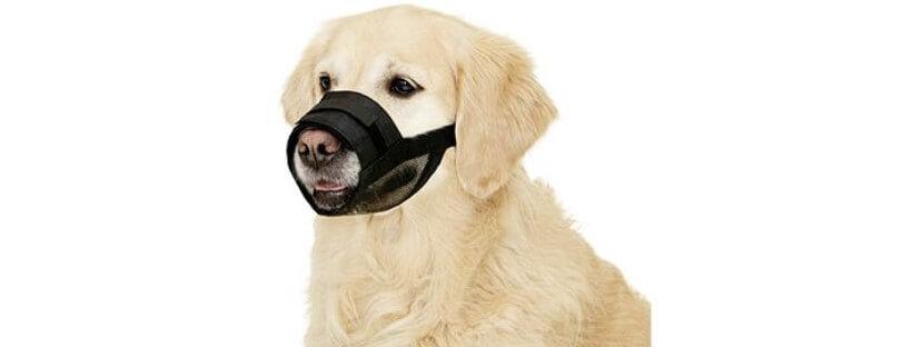 Labrador con bozal de tela o nylon.