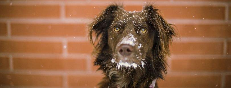Perro mestizo con nieve en la cara.