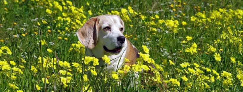 Perro tumbado en una pradera con flores amarillas.