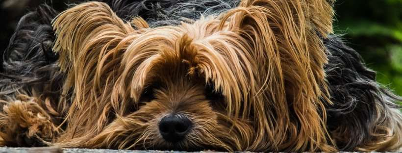 Yorkshire Terrier enfermo con diarrea.