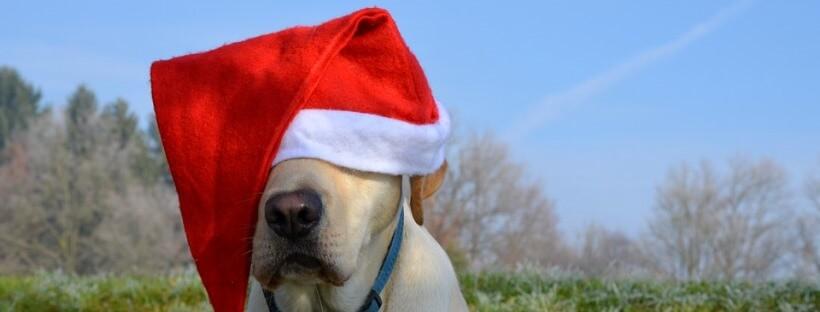 Labrador retriever con un gorro de Navidad.