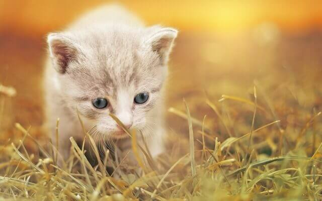 gato-mascota-salud