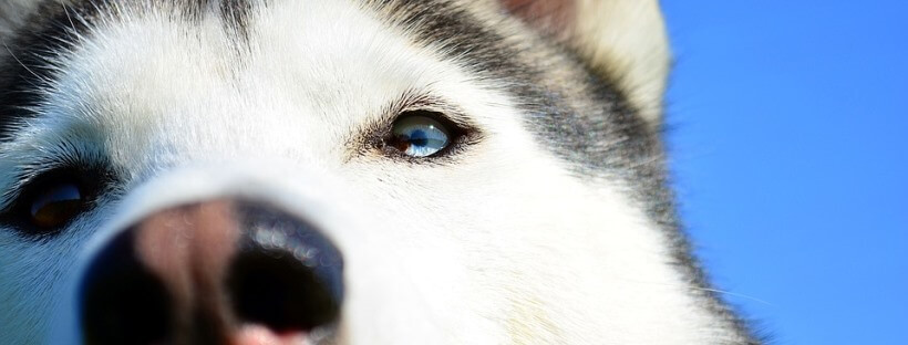 Husky contemplando el objetivo desde cerca.