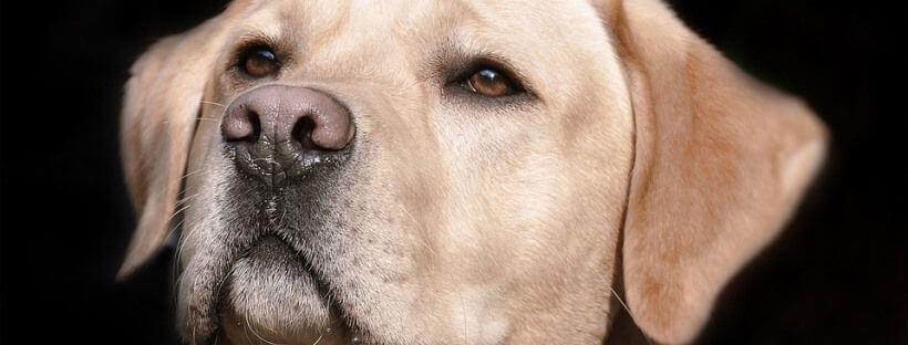 Labrador blanco.