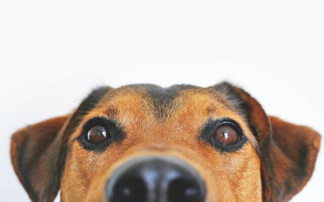 ojos-perro