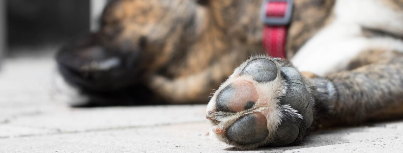 Perro tumbado mientras muestra sus almohadillas.