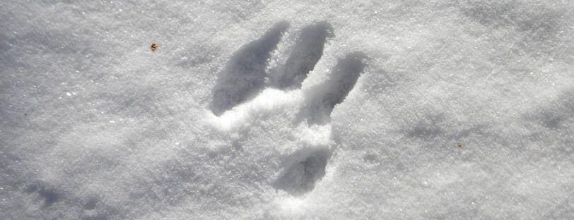 Huella de un perro que ha paseado por la nieve.
