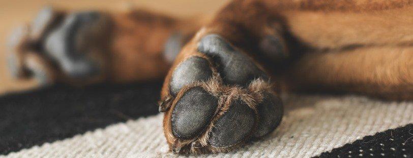 Almohadillas de las patas de un perro marrón.