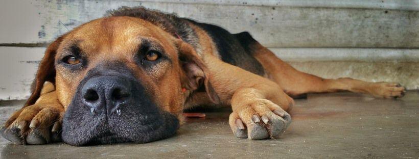 Perro tumbado mostrando las uñas de sus patas delanteras.