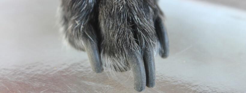 Como cortar las uñas al perro