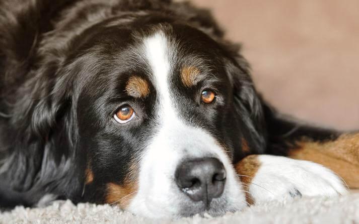 La orquitis en perros es un mal que se aprecia por los testículos inflamados