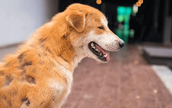 sarna en perros diagnostico