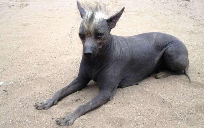 perro sin pelo argentino