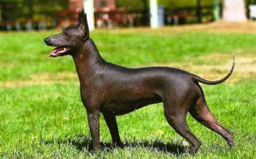 perro sin pelo azteca