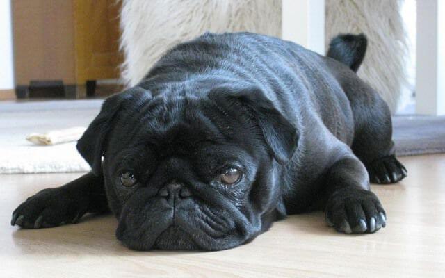 Perdida de peso insuficiencia cardiaca perro