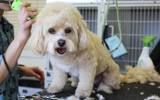 Cómo cortar el pelo a un perro.