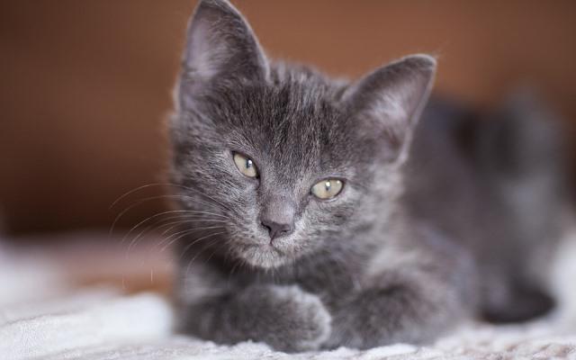 Todo lo que debes saber sobre la miocardiopatía en gatos.