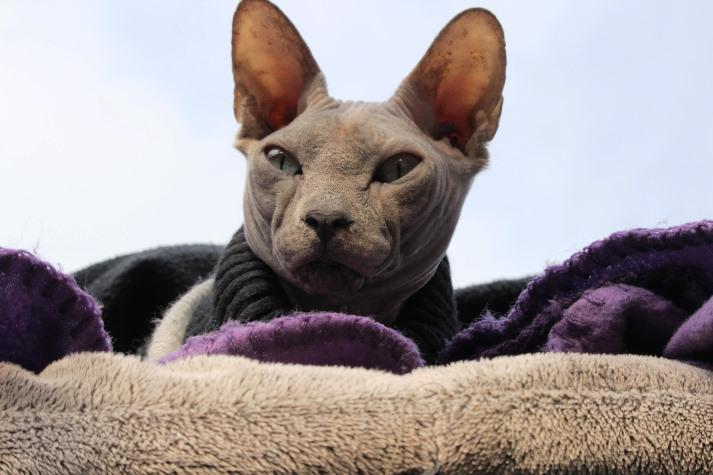 foto de un gato esfinge SPHYNX