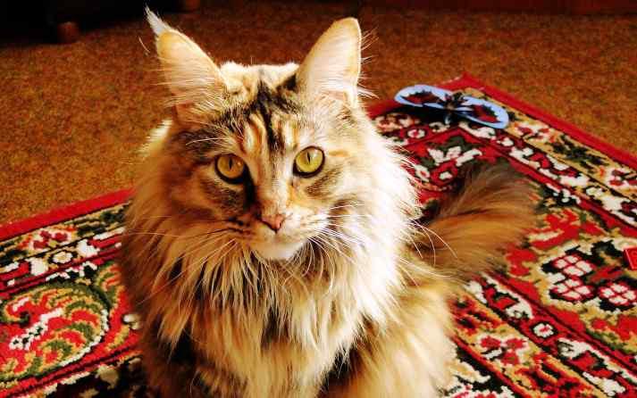 gato-viejo