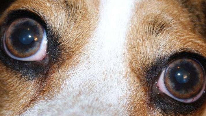 ¿Cuánto tiempo es contagiosa la infección ocular del perro?