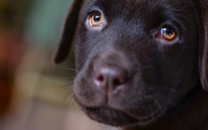 que pasa si mi perro tiene el ojo rojo