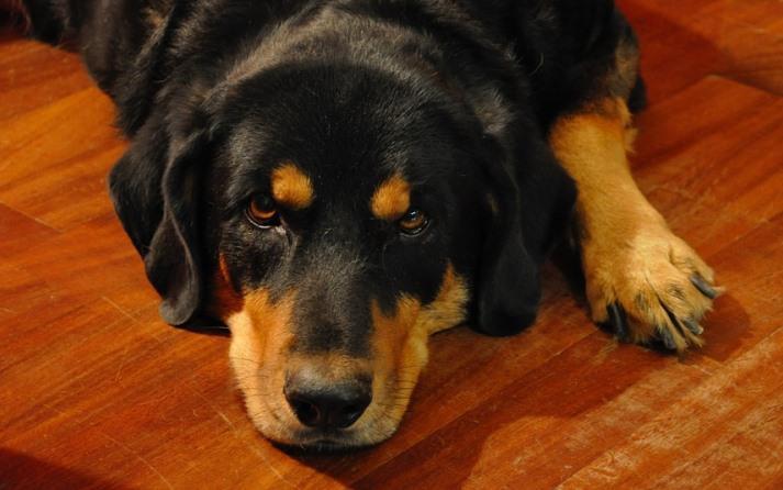 perro con artrosis PORTADA