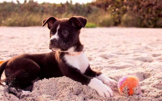 Perro en la playa con una pelota.